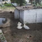 <b>Doğanbey Ördekler</b> <br />